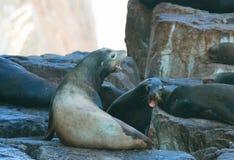 Kalifornien sjölejon som slåss på sjölejonkolonin, vaggar på länder avslutar i Cabo San Lucas Baja Mexico royaltyfri foto