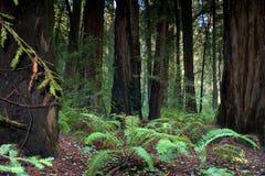 Kalifornien skogredwoodträd Arkivbilder