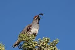 Kalifornien som kallar gambel male quail s arkivfoton