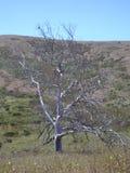 Kalifornien svart ek, guld- gräs och blå himmel royaltyfria foton