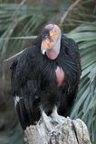 Kalifornien tät condor upp Arkivbild
