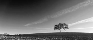Kalifornien-Tal-Eiche auf den gepflogenen Gebieten in Weinanbaugebiet Paso Robles in zentralem Kalifornien USA - Schwarzweiss Lizenzfreies Stockbild
