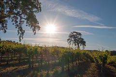 Kalifornien-Tal-Eiche im Weinberg bei Sonnenaufgang in Weinberg Paso Robles im Central Valley von Kalifornien USA Lizenzfreie Stockfotografie