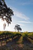 Kalifornien-Tal-Eiche im Weinberg bei Sonnenaufgang in Weinberg Paso Robles im Central Valley von Kalifornien USA Stockfotografie