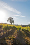 Kalifornien-Tal-Eiche im Weinberg bei Sonnenaufgang in Weinberg Paso Robles im Central Valley von Kalifornien USA Stockfotos