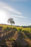 Kalifornien-Tal-Eiche im Weinberg bei Sonnenaufgang in Weinberg Paso Robles im Central Valley von Kalifornien USA Stockfotos