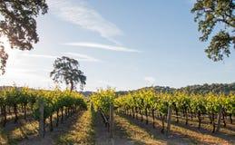 Kalifornien-Tal-Eiche im Weinberg bei Sonnenaufgang in Weinberg Paso Robles im Central Valley von Kalifornien USA Lizenzfreies Stockfoto