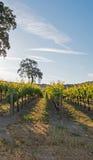 Kalifornien-Tal-Eiche im Weinberg bei Sonnenaufgang in Weinberg Paso Robles im Central Valley von Kalifornien USA Lizenzfreie Stockfotos