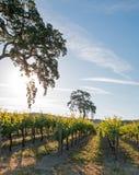 Kalifornien-Tal-Eiche im Weinberg bei Sonnenaufgang in Weinberg Paso Robles im Central Valley von Kalifornien USA Lizenzfreie Stockbilder