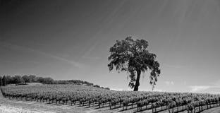Kalifornien-Tal-Eiche im Weinberg in Weinanbaugebiet Paso Robles in zentralem Kalifornien USA - Schwarzweiss Lizenzfreie Stockfotografie