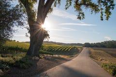 Kalifornien-Tal-Eiche mit Sonne des frühen Morgens strahlt in Weinanbaugebiet Paso Robles in zentralem Kalifornien USA Lizenzfreies Stockbild