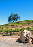 Kalifornien-Taleichen- und -kalksteinflusssteine im Weinberg in Weinberg Paso Robles im Central Valley von Kalifornien USA Lizenzfreie Stockbilder