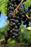 Kalifornien-Trauben stockfotos