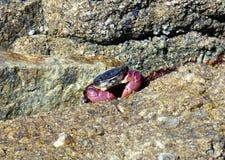 Kalifornien vaggar kust- klippor med en krabbaspridning mellan av kusten - den ingen huvudvägen för vägturen ner 1 arkivbild