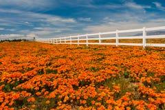 Kalifornien vallmo Arkivfoton