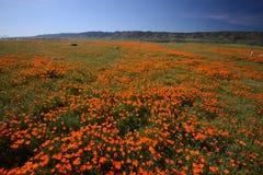 Kalifornien vallmo Arkivfoto