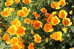 Kalifornien vallmo Eschscholzia Californica Arkivfoto