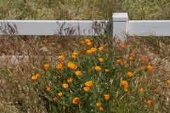 Kalifornien vallmo längs ett staket Line royaltyfri fotografi