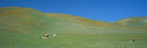 Kalifornien vallmofält Royaltyfria Bilder