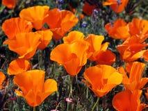 Kalifornien vallmor Royaltyfria Bilder