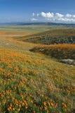 Kalifornien vallmor Royaltyfri Fotografi