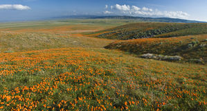 Kalifornien vallmor Arkivbilder