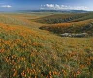 Kalifornien vallmor Arkivfoto