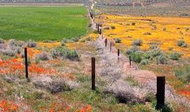 Kalifornien vildblommar och vallmor Arkivbilder