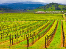 Kalifornien vingård Royaltyfri Bild