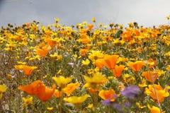 Kalifornienwildflowers in der Blüte Stockfotos