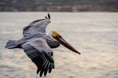 Kalifornii pelikana brown Obraz Royalty Free