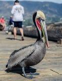 Kalifornii pelikana brown Obraz Stock