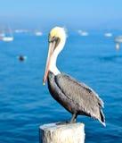 Kalifornii pelikana brown Fotografia Stock