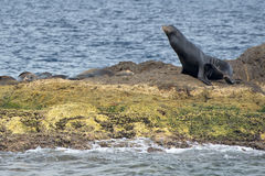 Kalifornijska dennego lwa foka relaksuje na skale Zdjęcia Royalty Free