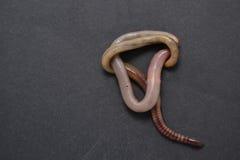 Kalifornijski czerwony earthworm Obrazy Stock