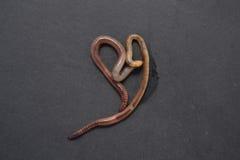 Kalifornijski czerwony earthworm Zdjęcie Royalty Free