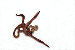 Kalifornijski czerwony earthworm Fotografia Royalty Free