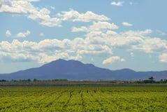 kalifornijskie gronowi winorośli Obrazy Royalty Free