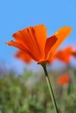 kalifornijskie maku Zdjęcie Stock