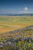 kalifornijskie maku obrazy stock
