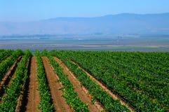 kalifornijskie uprawy winorośli upraw Fotografia Royalty Free