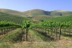 kalifornijskie wina winogron. Obrazy Stock