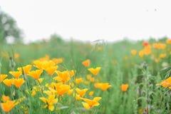 Kalifornische Mohnblumen Lizenzfreie Stockfotografie