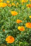 Kalifornische Mohnblumen der Leuchtorange mit einem grünen Hintergrund lizenzfreies stockbild