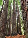 Kalifornische Rotholzbäume Lizenzfreie Stockfotos