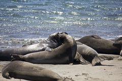 Kalifornische Seelöwen Stockbild