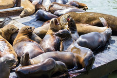 Kalifornische Seelöwen Lizenzfreies Stockbild