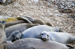 Kalifornische Seelöwen Stockfotos
