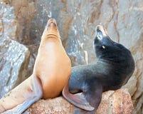 """Kalifornische Seelöwen auf La Lobera [""""the Wölfe Lairâ€-], das der Seelöwenkoloniefelsen an den Ländern in Cabo San Lucas been Stockfotos"""