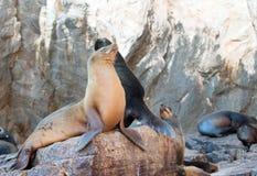 Kalifornische Seelöwen auf La Lobera, welches die Seelöwenkolonie an den Ländern beenden in Cabo San Lucas schaukeln Stockfotografie